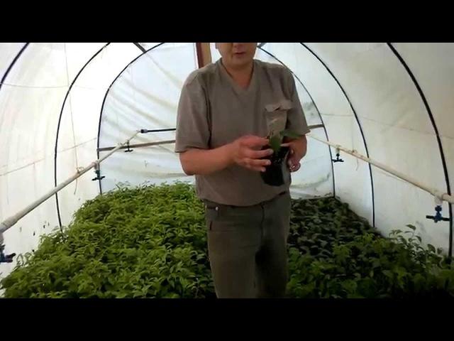 Как укореняются черенки в теплице с туманом ежевика и ВСЛ 2
