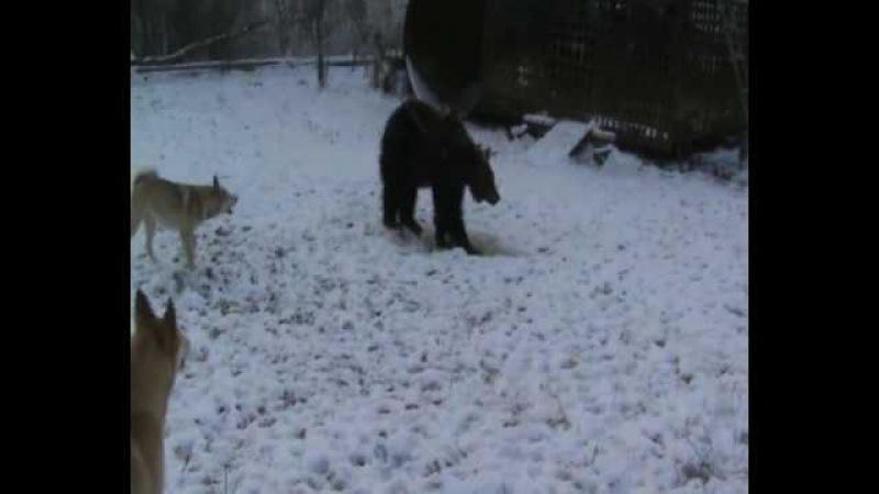 Первая притравка на медведя, щенки лайки, возраст 7 месяцев