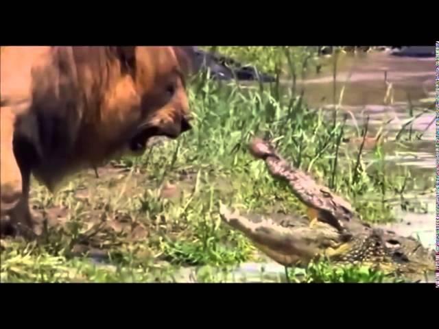Leon Intimida a Cocodrilo 2014 (Lion Intimidates Crocodile)