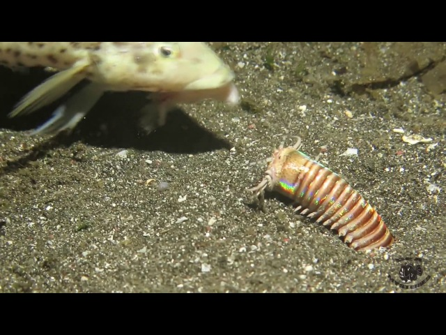 Amazing Feeding to the Bobbit Worm!
