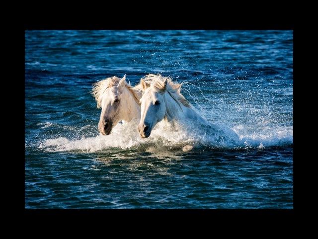 Морские лошади камаргу — национальное достояние Франции