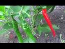 Выращивание и уход за острыми перцами в открытом грунте