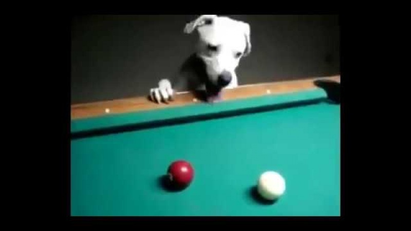 Nothing special, just a dog playing pool lol