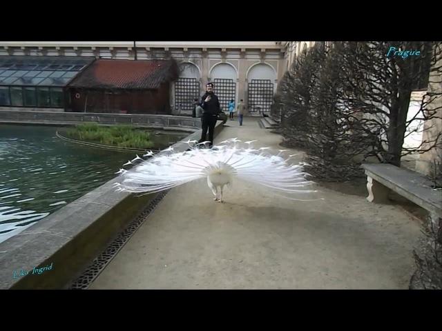 Красавец белый павлин enya amarantine