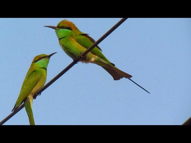 Little Green Bee-eater Малая зелёная щурка Merops orientalis