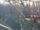 Угорь кушает хлеб. Озеро Курнас Крит озерокурнас фотокурнас