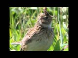 Skylark singing away at Bempton Cliffs, East Yorkshire 31 05.13