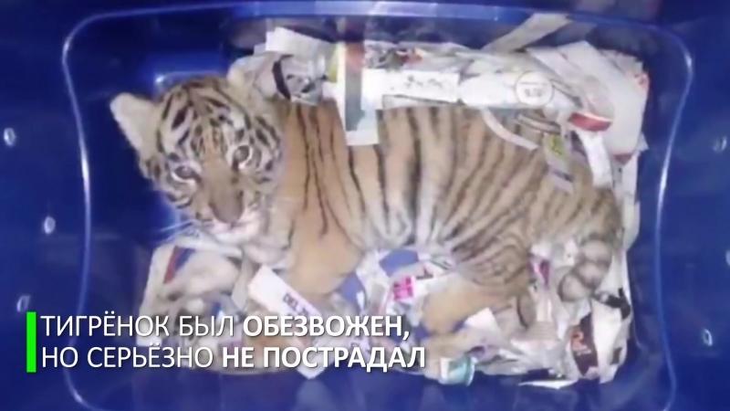Собака-ищейка спасла тигрёнка из почтового контейнера