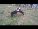Питбуль VS американский булли собачьи бои