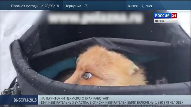 Лису-воровку поймал с поличным рыбак в Пермском крае