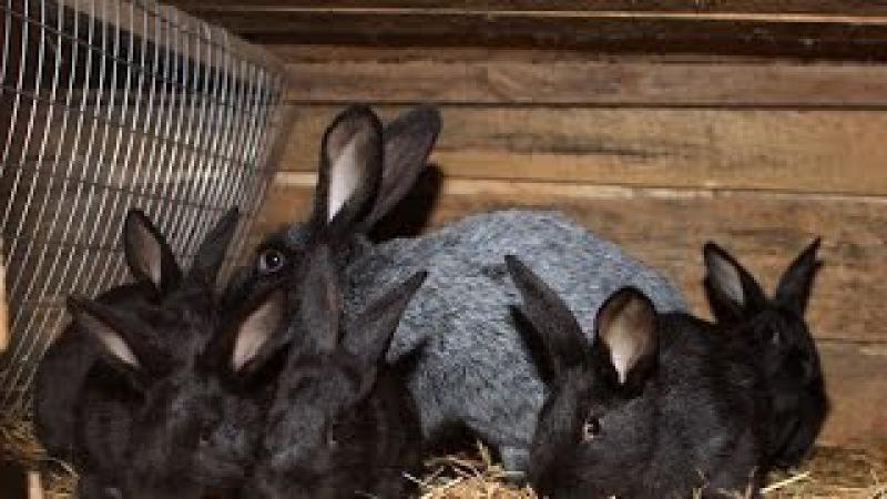как правильно провести спаривание кроликов