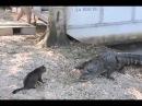 Как милый пушистый Котик двух крокодилов побил.