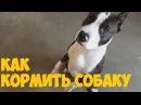 American Staffordshire Terrier / Как правильно кормить собаку /щенок в доме/