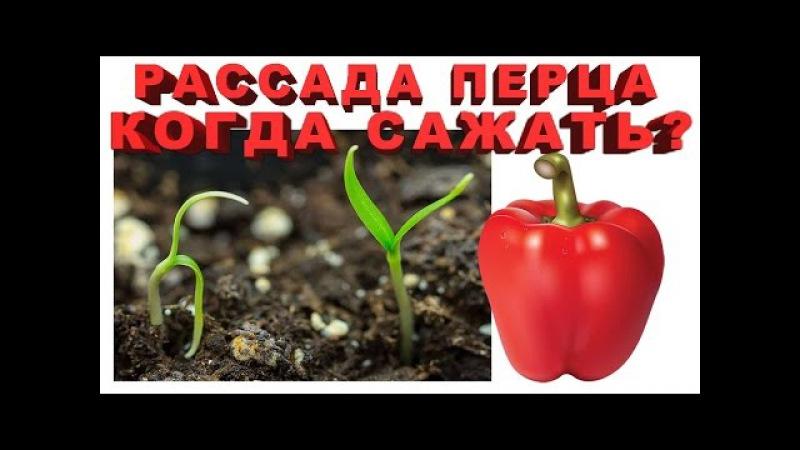 Рассада перца - Когда сажать? Сроки посадки перца на рассаду