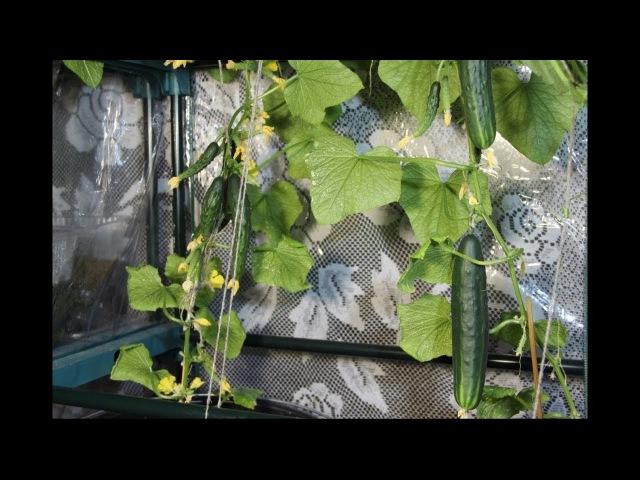 Во саду ли в огороде • Свежие Овощи Дома Круглый Год. Огурцы На Подоконнике.