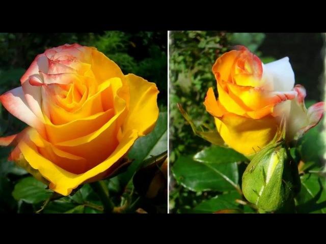 20 сортов роз для розария в саду на даче