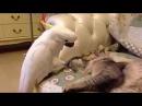Попугай какаду и спящий кот