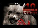 Топ 10 бойцовских пород собак