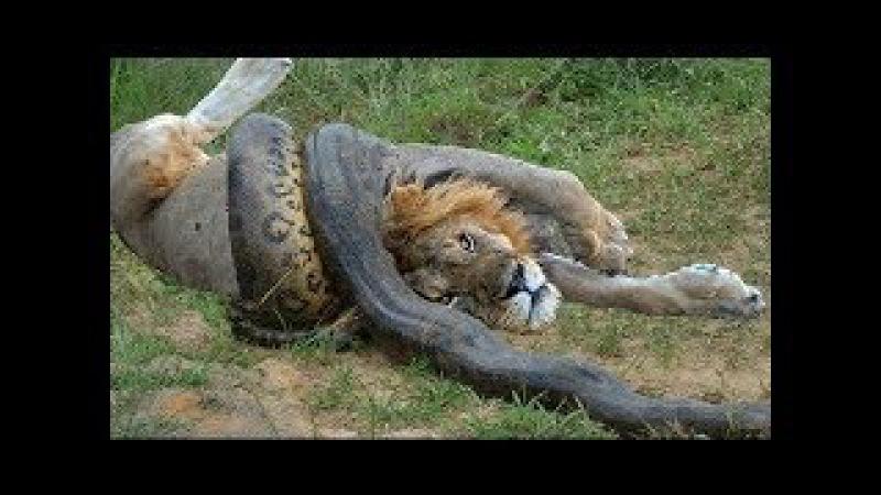 Rắn hổ mang tử chiến đại bàng Trăn khổng lồ quấn chết Sư tử , Linh cẩu triệu like - Snake vs Lion