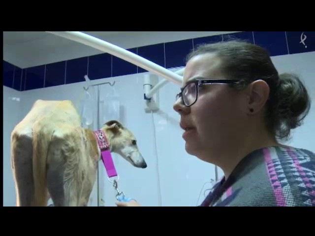 Реабилитация после перелома бедра у собаки породы испанский гальго / Curas y evolución de cirugía de fractura de fémur en Galgo
