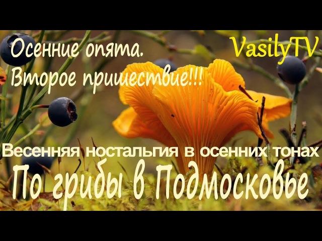 По грибы в Подмосковье. Осенние опята, второе пришествие или Весенняя ностальгия в осенних тонах