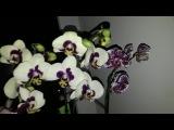 Орхидеи на моём окне.Краткий обзор.
