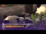 Годовалых панд в Китае переселили в новый вольер