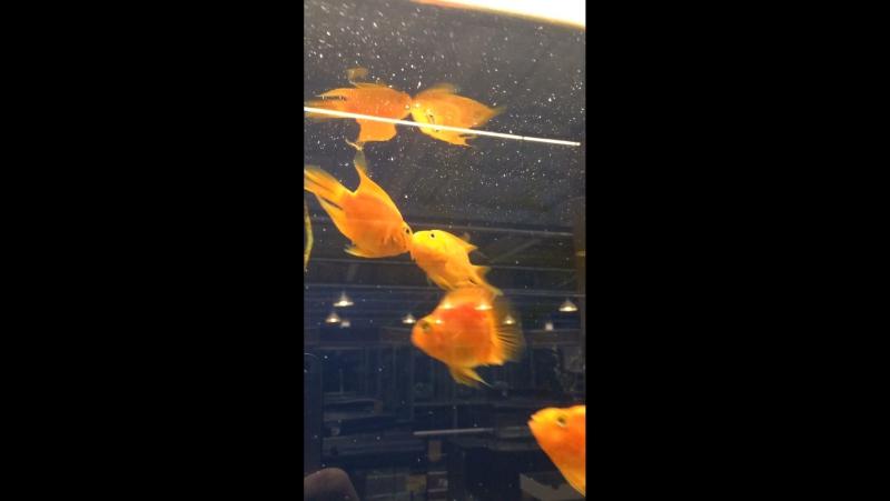 Рыбки целуются!)