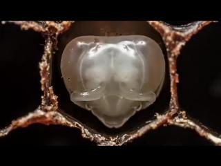 По многочисленным просьбам трудящихся  - Как рождаются пчёлы.