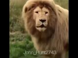 Хотите узнать как лев рычит