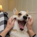 Наступил Новый год Собаки, в связи с чем желаю всем нам, чтоб мы жили как корги Шувалова…