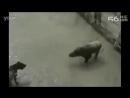 Бой дикого кабана и бойцовских собак