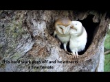 Bringing Up Baby How barn owls do it