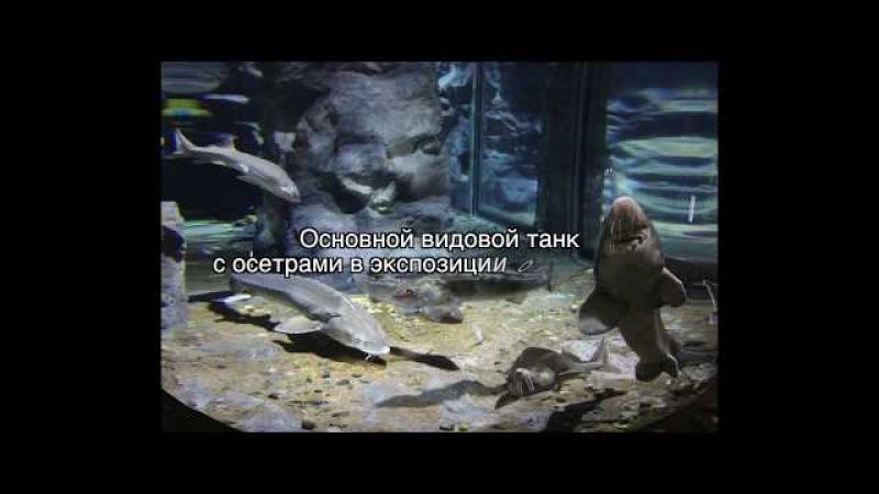 Переезд стерляди в океанариум