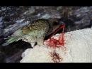Попугай Кеа - убийца овец / Попугаи жестоко убивает овец - Самый умный и жестокий попугай в мире
