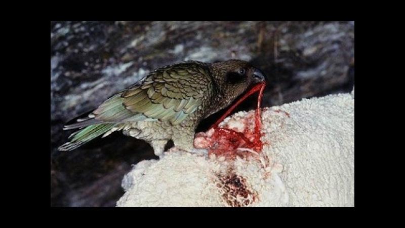 Попугай Кеа убийца овец Попугаи жестоко убивает овец Самый умный и жестокий попугай в мире