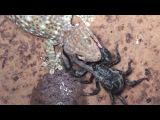 Геккон против скорпиона (Gecko Vs Black Scorpion)