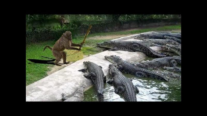 Baboon vs Crocodile Revenge - Animals Attack Compilation : Lion , Leopard , Crocodile , Snakes