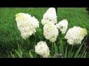 Как цветут гортензии после обрезки