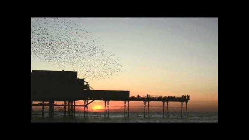 Starlings in Aberystwyth