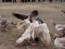 Русские бойцовые гуси- гусинные бои