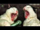 Коты поют ДЕСПАСИТО очень смешное видео.Приколы с котами .Смешные коты и кошки м ...