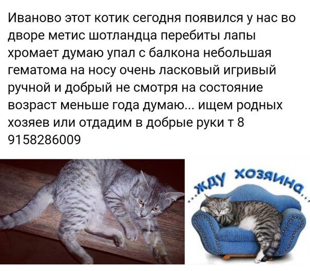 Иваново этот котик сегодня появился у нас во дворе метис шотландца пер