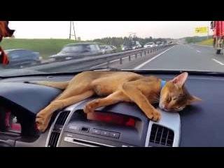 Abyssinian cat traveling by car. Абиссинская кошка путешествует на машине.