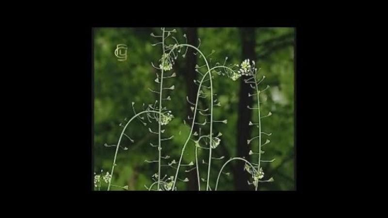 Отдел покрытосеменные. Семейство бобовых. Многообразие растений семейства бобо...