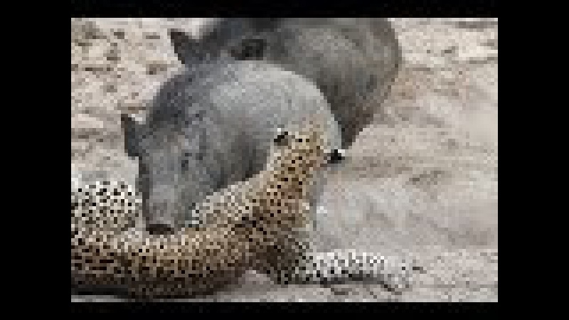 Bear vs Boar Mother pig saves baby ϟ tiger vs pig vs cow wild animals attack 2017