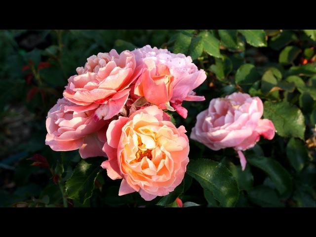 Розы из черенка Ошибки укоренения