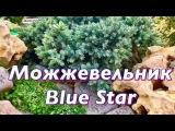 Можжевельник Блю Стар ( Blue Star). Уход за можжевельником. Подготовка к зиме.