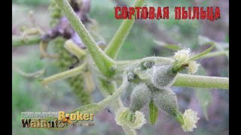 Чем опылять скороплодные грецкие орехи Идеал, Кочерженко, Иван Багряный, Walnuts Broker
