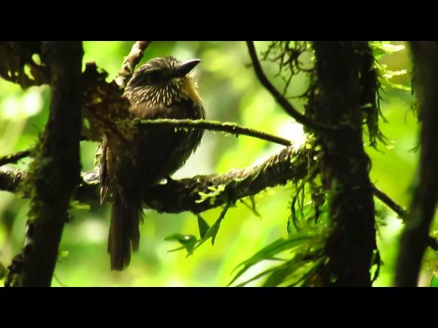 Black streaked Puffbird Бурогорлая малакоптила Malacoptila fulvogularis